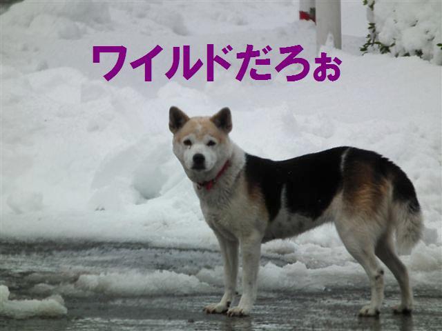 ワイルドだぜぇ (13)
