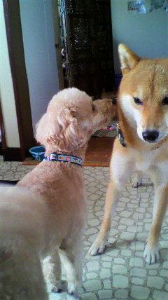20120902柴犬くんと