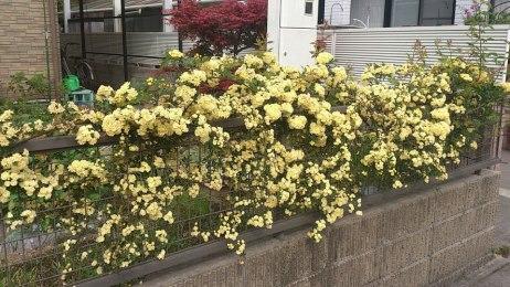 フェンスの木香バラ