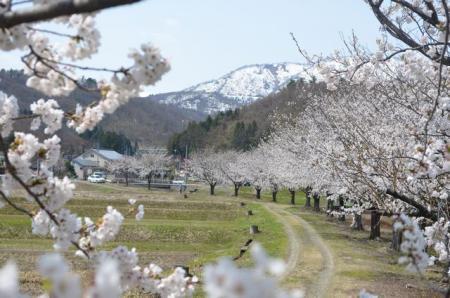 かわら亭桜1