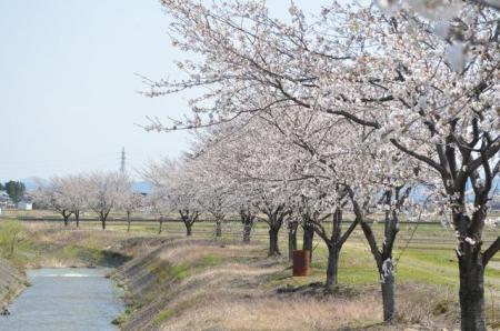 かわら亭桜2