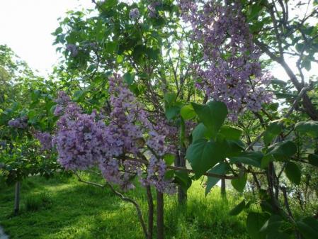 紫ライラック