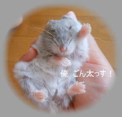 俺 ごん太っす!