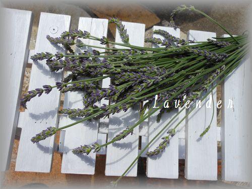 lavender1_20120611134759.jpg