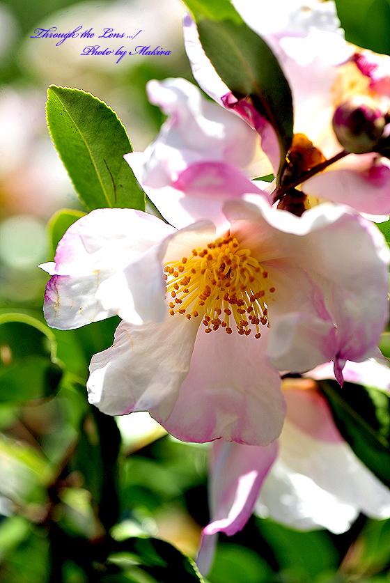 サザンカ 花の雪