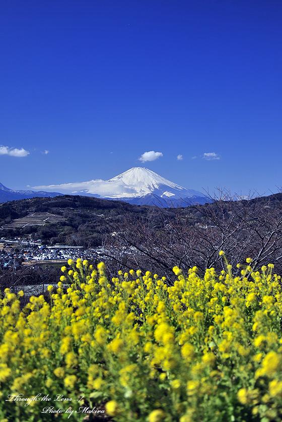 菜の花と富士山2