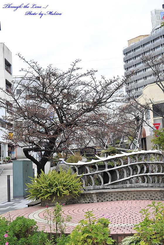 糸川沿い蕾のあたみ桜