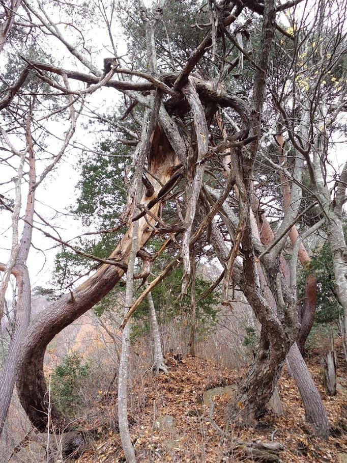 八坂2-09大姥山の樹副