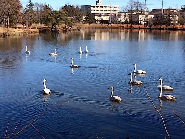 1222白鳥1