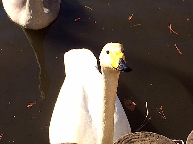 1222白鳥5