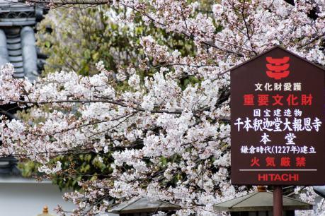 2013_kyoto_sakura21.jpg