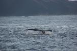朝一番のザトウクジラ(2013/12/30 兄島瀬戸)