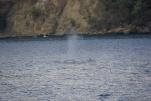帰り道のザトウクジラ(2013/12/30 兄島瀬戸)