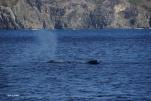 子クジラのブローはちいさくてかわいいね(2014/1/4 父島初寝浦)