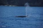 お母さんクジラのブローははっきりしてます(2014/1/4 父島初寝浦)