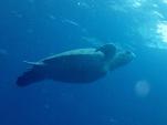 最後はアオウミガメのお見送り(2013/12/30 万作の鼻)