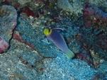 水深40mオーバーの紫紺の輝き。ヘルフリッチ(2013/12/31 鯨崎)