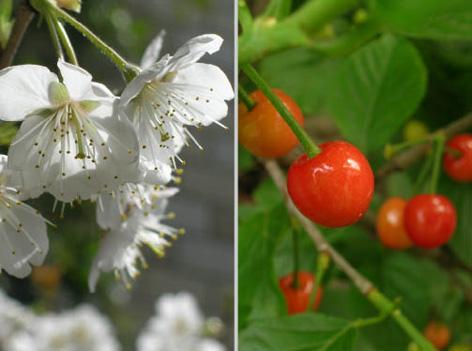 さくらんぼの花と実