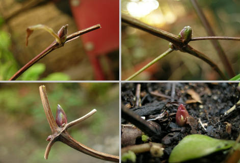 クレマの芽