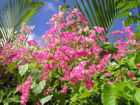 アサヒカズラ花