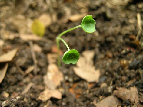 ナスタチウムの芽