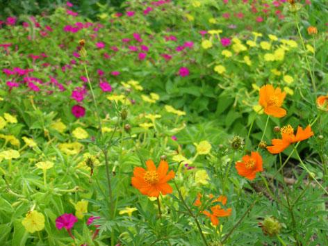 おしろい花とコスモス