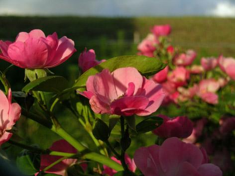 土手のバラ