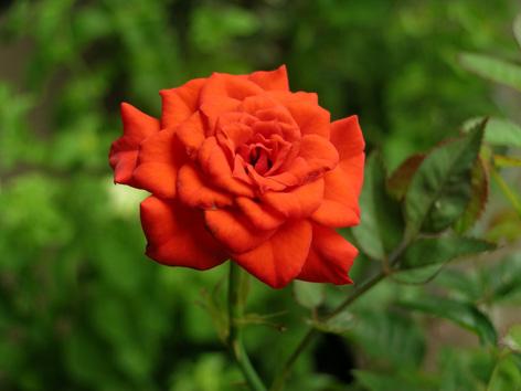 ミニバラ赤