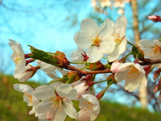 エゾヤマ桜***RICOH_CX4