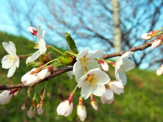 エゾヤマ桜B***RICOH_CX4