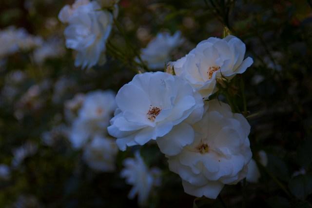 豊平公園内の薔薇
