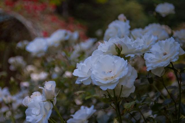 豊平公園内薔薇園にて