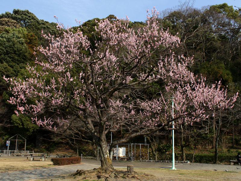 清水山公園の梅の木
