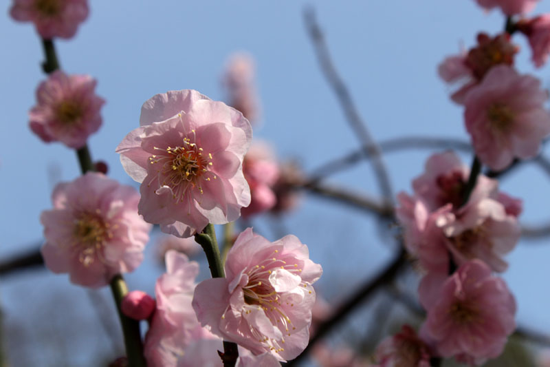清水山公園の梅の花