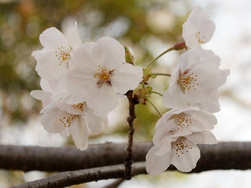 9416_ソメイヨシノの花