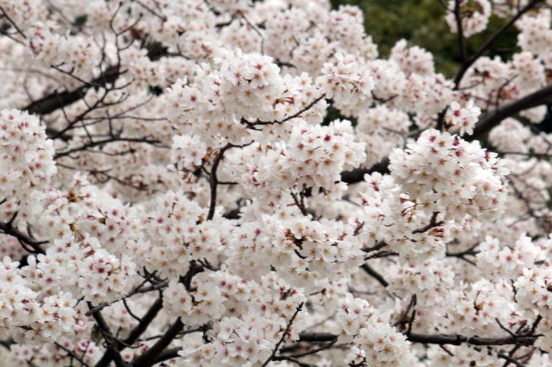 9667_駿府城公園 満開のソメイヨシノ