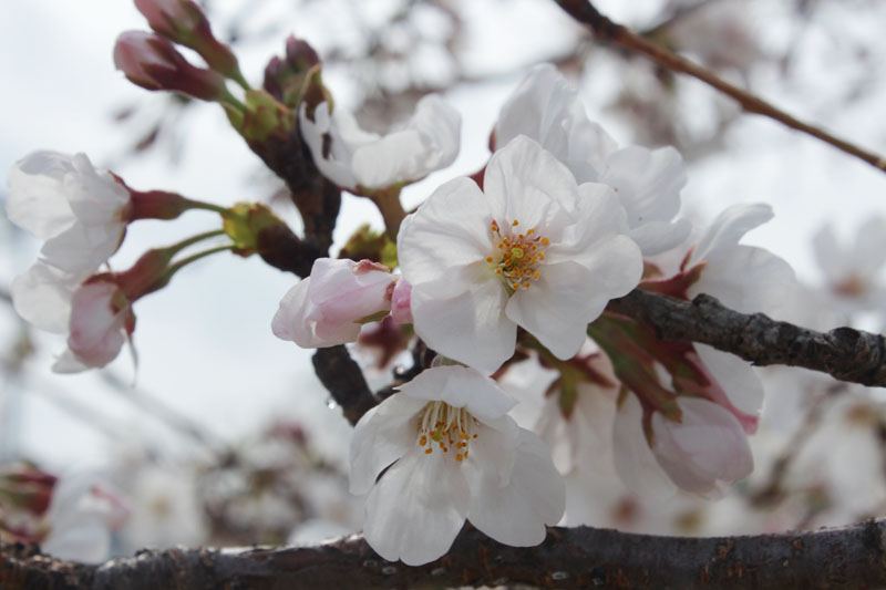 9672_駿府公園のソメイヨシノ