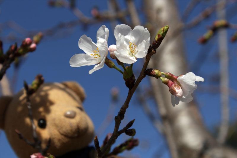 9252_ソメイヨシノの花を見る