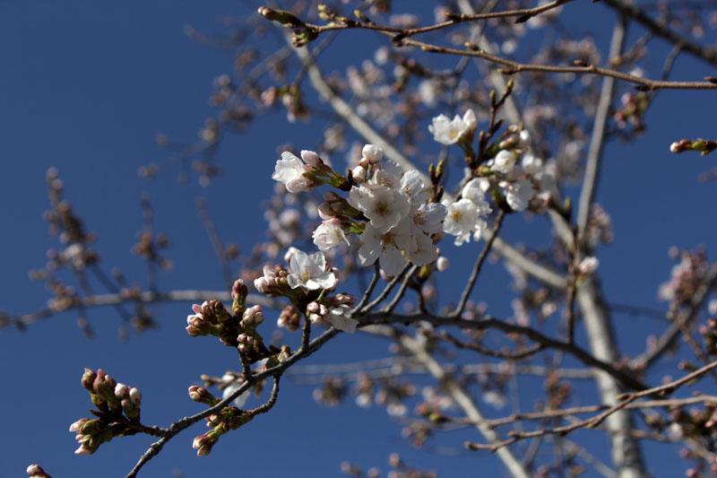 9254_駿府城公園 ソメイヨシノ 咲き始め