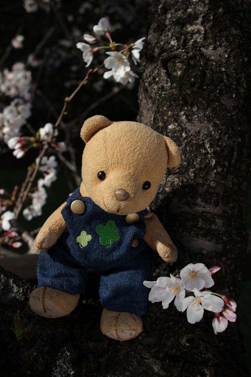 ソメイヨシノの若枝とくま・130323・IMG_9452