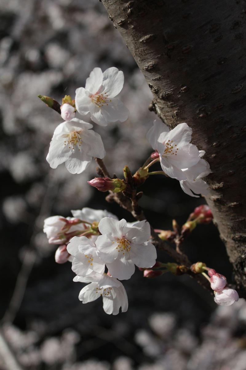 ソメイヨシノの若枝の花・130323・IMG_9453