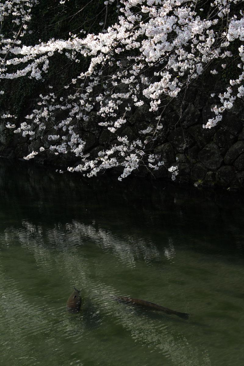 外堀・ソメイヨシノと鯉・130323・IMG_9474