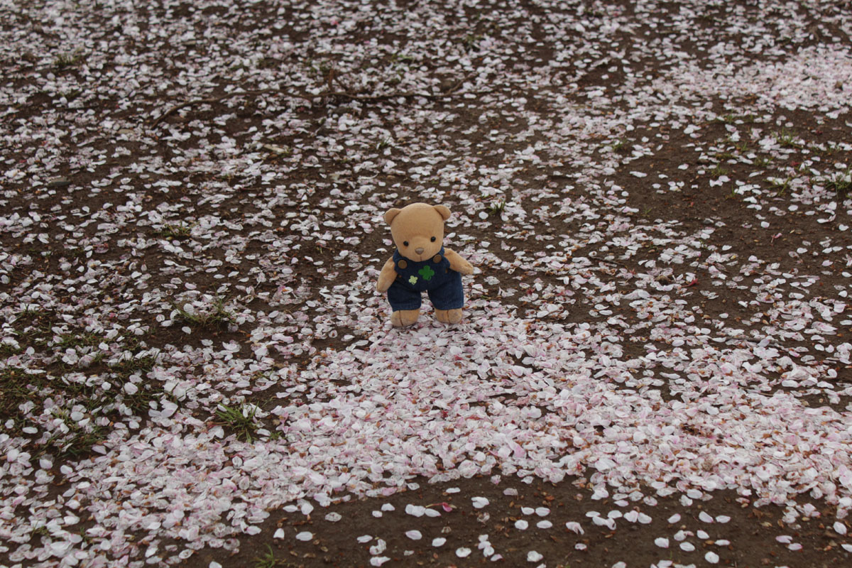 IMG_0834_駿府城公園 落ちた桜の花弁と 130403
