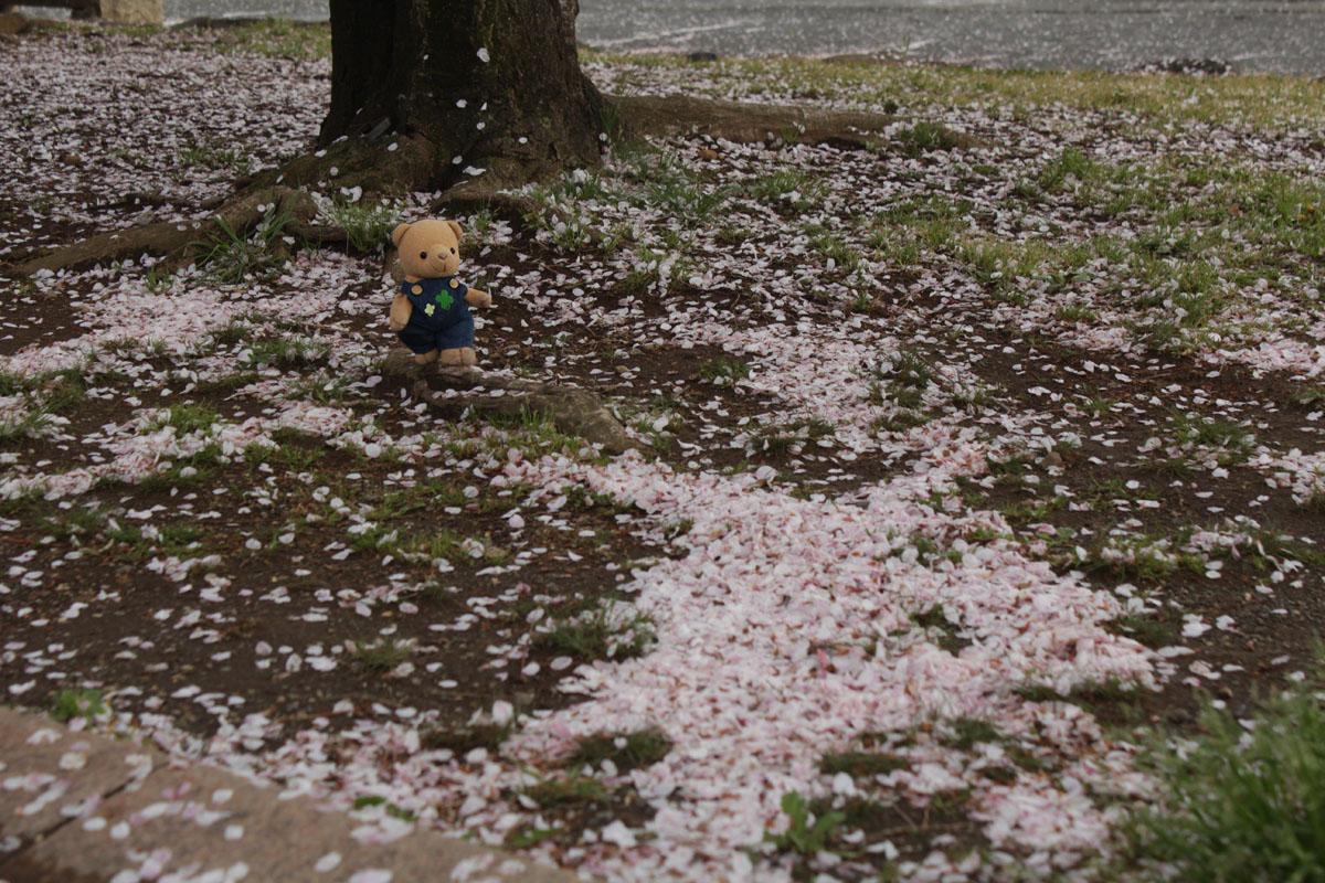 IMG_0838_駿府城公園 落ちた桜の花弁と 130403