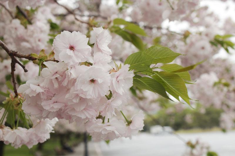 IMG_1283_皇居前 八重桜 130406・800×533