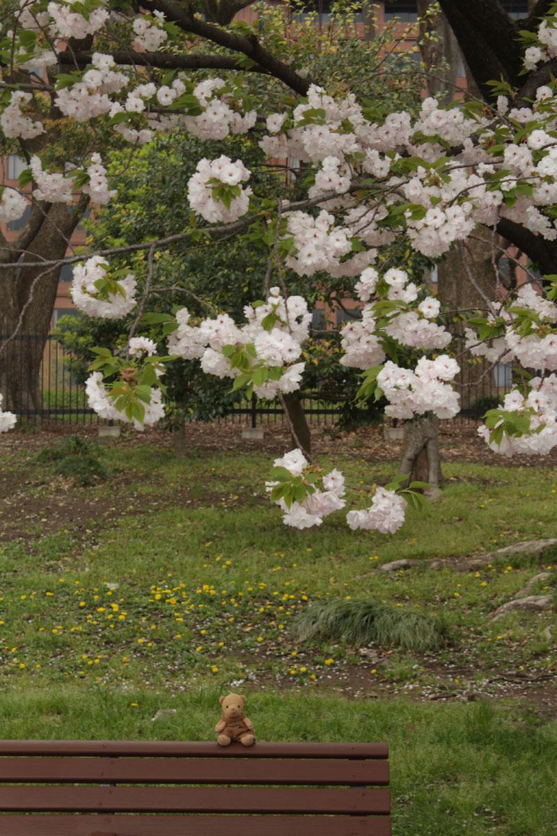 IMG_1304_皇居前 八重桜鑑賞 ベンチで 130406