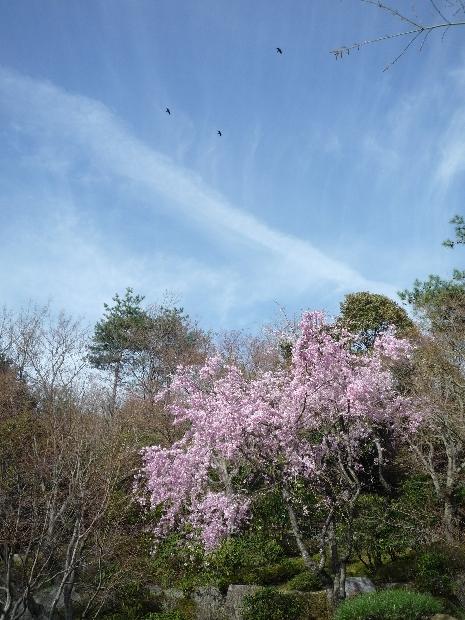 桜。雲。鳥さん。