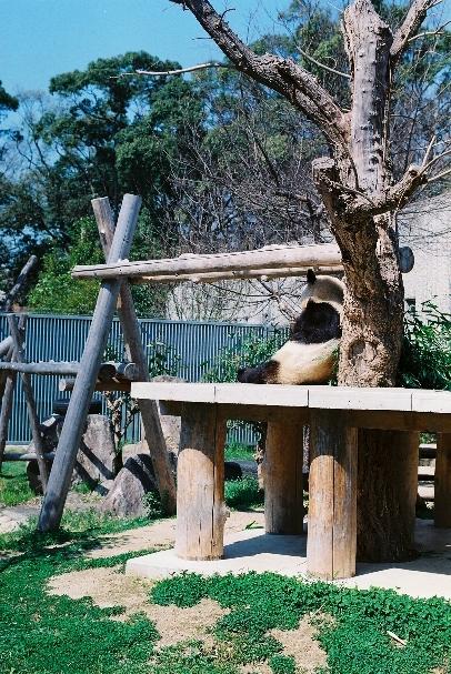 zoo パンダさん食事中!