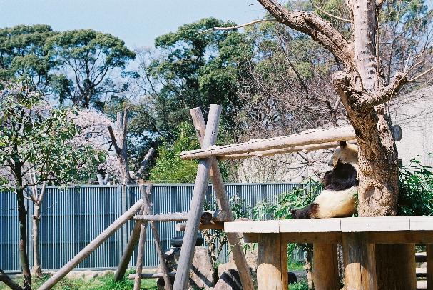 zoo パンダさん食事中