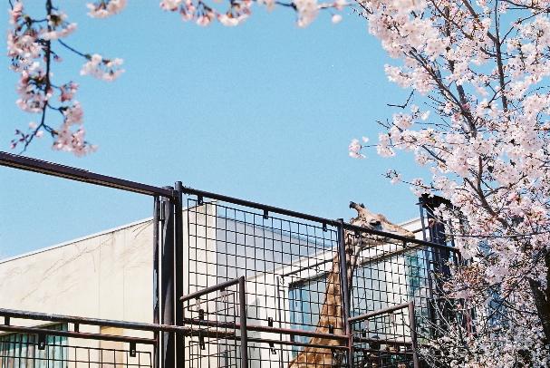 zoo 桜とキリンさん